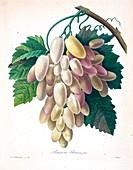 Grapes, 19th century illustration