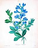 Blue wild indigo, 19th century illustration
