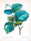Hazelnut (Corylus maxima), 19th century illustration
