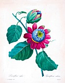 Passion flower (Passiflora alata), 19th century illustration