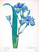 Fringe iris (Iris fimbriata), 19th century illustration