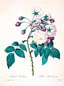 Adelia aurlianensis flower, 19th century illustration