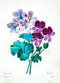 Geranium flowers, 19th century illustration