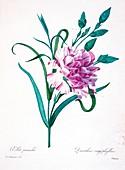 Carnations, 19th century illustration