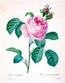 Provence rose (Rosa centifolia), 19th century illustration