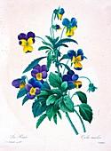 Wild pansy (Viola tricolor), 19th century illustration