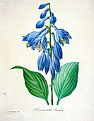 Blue plantain lily, 19th century illustration