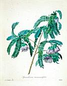 Cadia purpurea, 19th century illustration