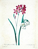 Snowflake and Ixia flowers, 19th century illustration