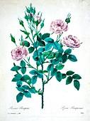 Rose bush (Rosa pomponia), 19th century illustration