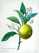 Sweet orange (Citrus sinensis), 19th century illustration