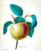 Calville Blanc apple, 19th century illustration