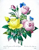 Bouquet of roses, 19th century illustration