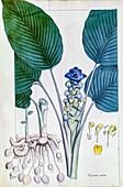 Jewel of Thailand (Curcuma petiolata), illustration
