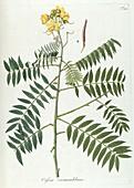Golden shower tree (Cassia sp.), illustration