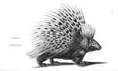Common porcupine, illustration