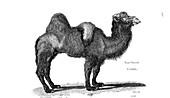Bactrian camel, illustration
