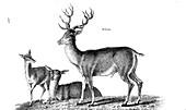 Stag, illustration