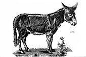 Ass, illustration