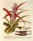 Flowering Bromelia plant, 18th century