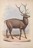 Barbary stag, 19th century illustration
