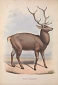 Barbary stag, 19th century illustration