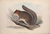 Squirrel, 19th century illustration