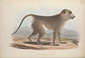 Cynocephalus thoth baboon, 19th century illustration