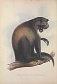 Sykes' monkey, 19th century illustration