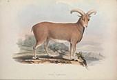 Mouflon, 19th century illustration