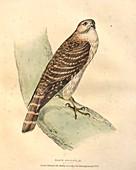 Merlin, illustration