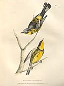 Spotted warbler, illustration