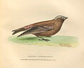 Gray-crowned rosy finch, illustration