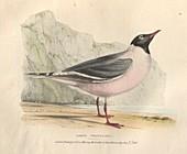 Franklin's rosy gull, illustration