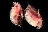 Daphnia water flea, light micrograph