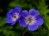 Geranium (Geranium 'Rozanne') flowers