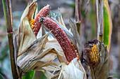 Deer-damaged corn