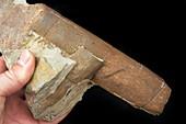 Fossilised giant horsetail stem