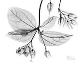 Bleeding heart vine (Clerodendrum thomsoniae), X-ray
