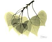 Aspen leaves (Populus tremula), X-ray