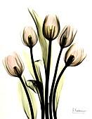Tulip (Tulipa sp.) flowers, X-ray