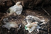 Yellow-legged gull chicks and plastic pollution