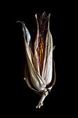 Maize (Zea mays) cob