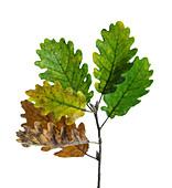 Sessile oak (Quercus petraea) leaves