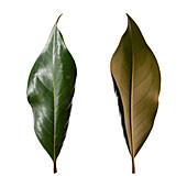 Southern magnolia (Magnolia grandiflora) leaves