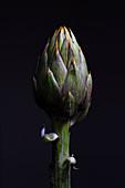 Spiny artichoke (Cynara scolymus) head