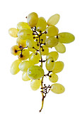 White table grapes (Vitis vinifera 'Pizzutello')