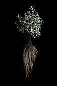 Marjoram plant (Origanum majorana)