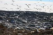 Gulls flying over landfill site, France