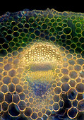 Pasqueflower stalk, light micrograph